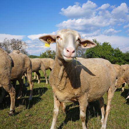 sheep, pets, four-legged, Sony ILCE-3000