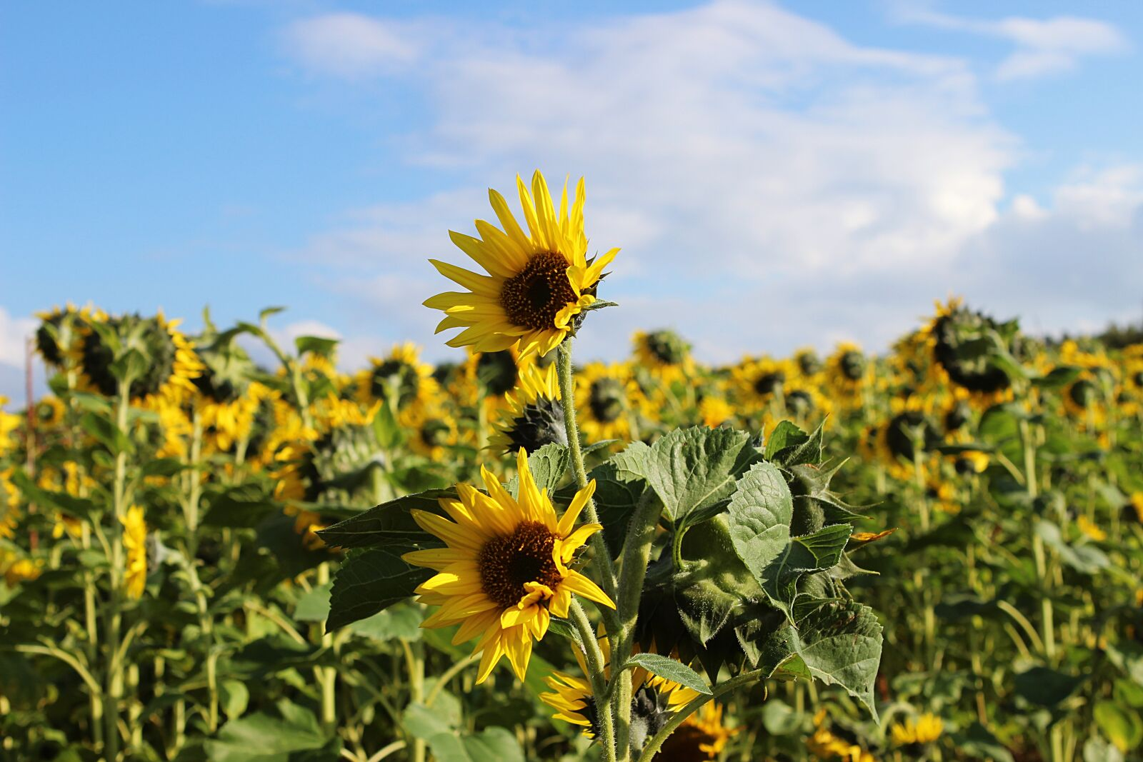 """Canon EOS 600D (Rebel EOS T3i / EOS Kiss X5) sample photo. """"Sunflower, yellow, flower"""" photography"""