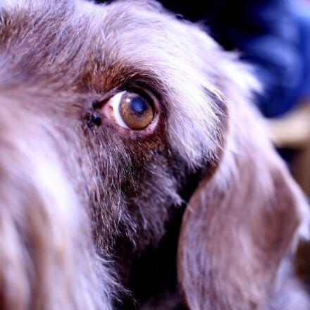 dog, dachshund, pet, Canon EOS 7D MARK II