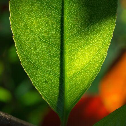 leaf, nature, green, Sony NEX-5N