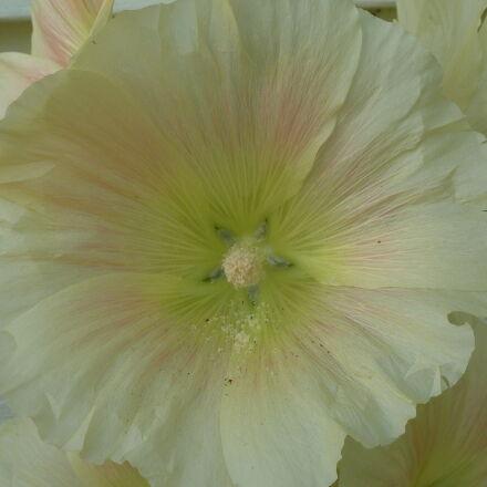 flower, hollyhock, white, flower, Panasonic DMC-ZS3