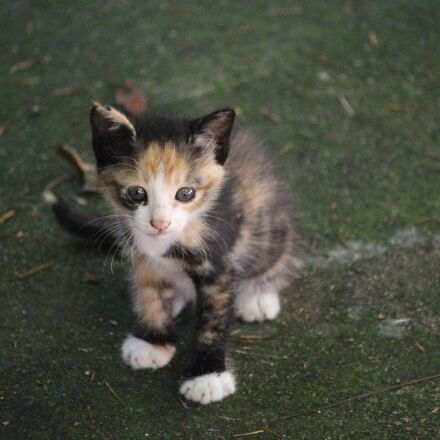 cat, pet, animal, Canon EOS 700D