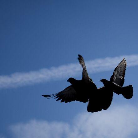 dove, bird, flying, Nikon D600