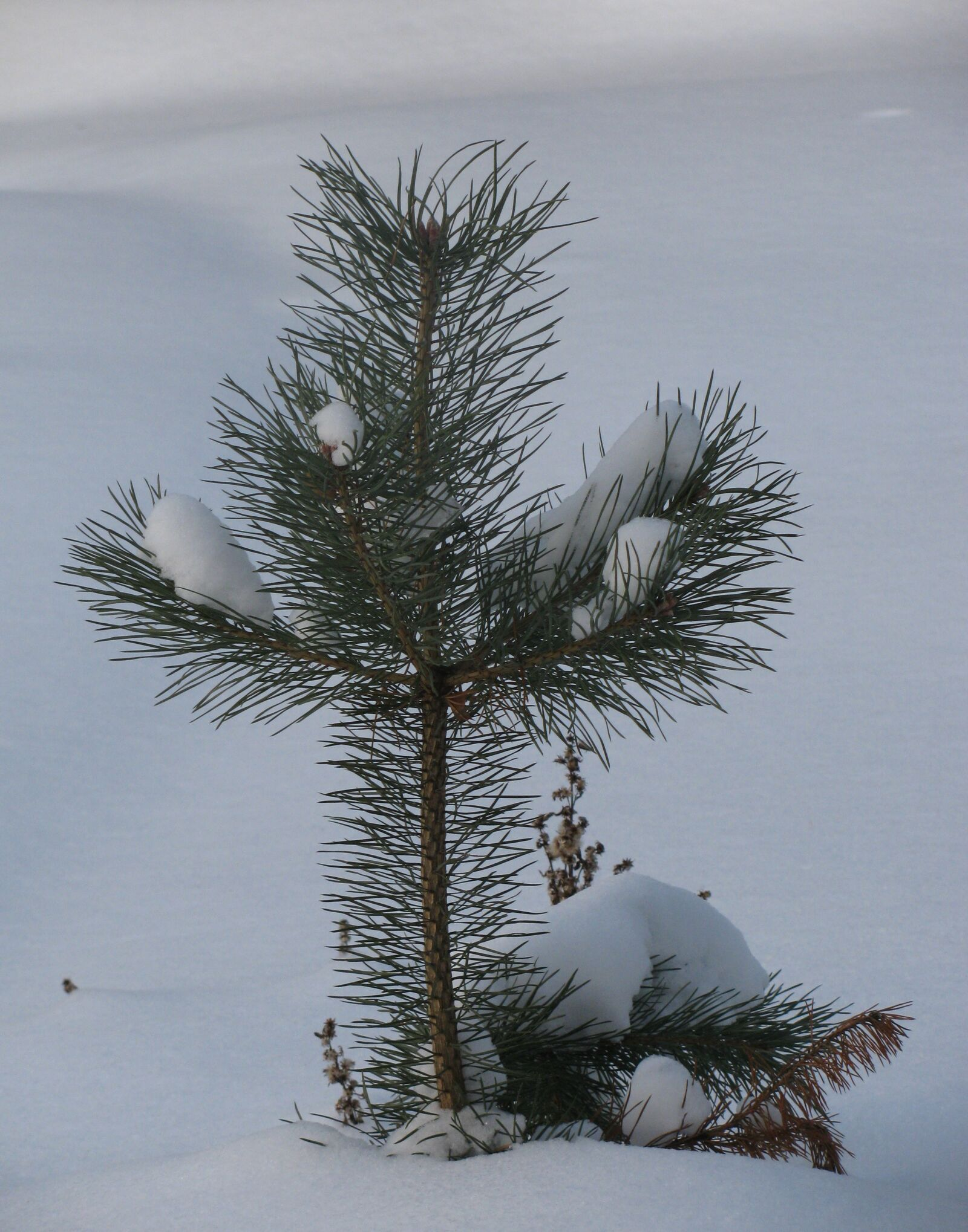 """Canon PowerShot SX110 IS sample photo. """"Winter, snow, nature"""" photography"""