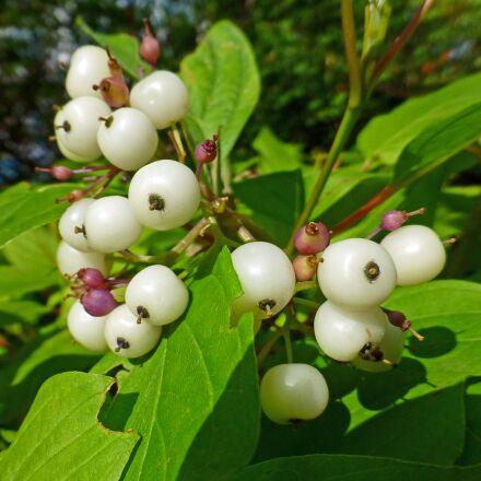 plant, sambucus, berry, Panasonic DMC-TZ30