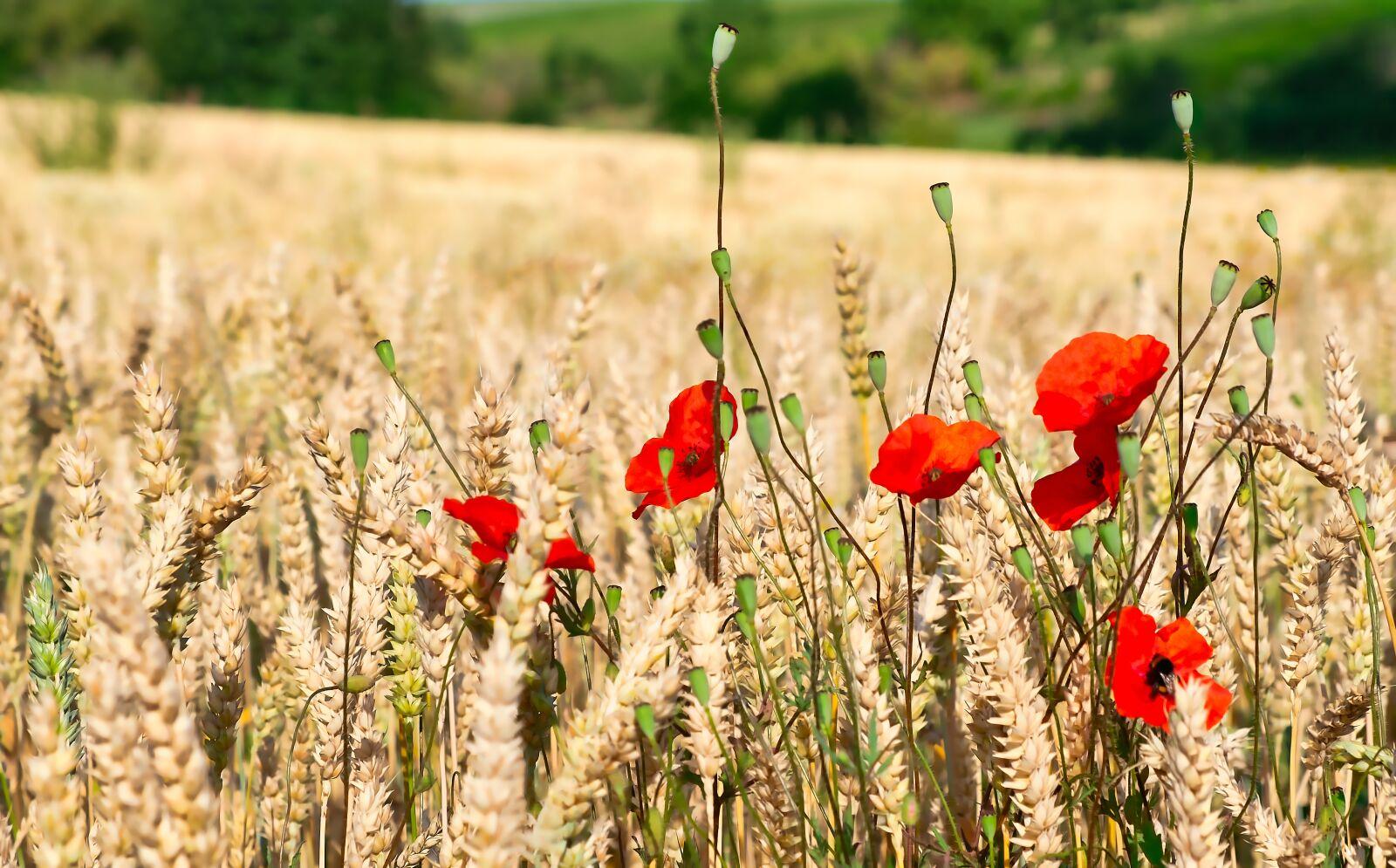 """Fujifilm X-E1 sample photo. """"Poppies, cornfield, poppy"""" photography"""