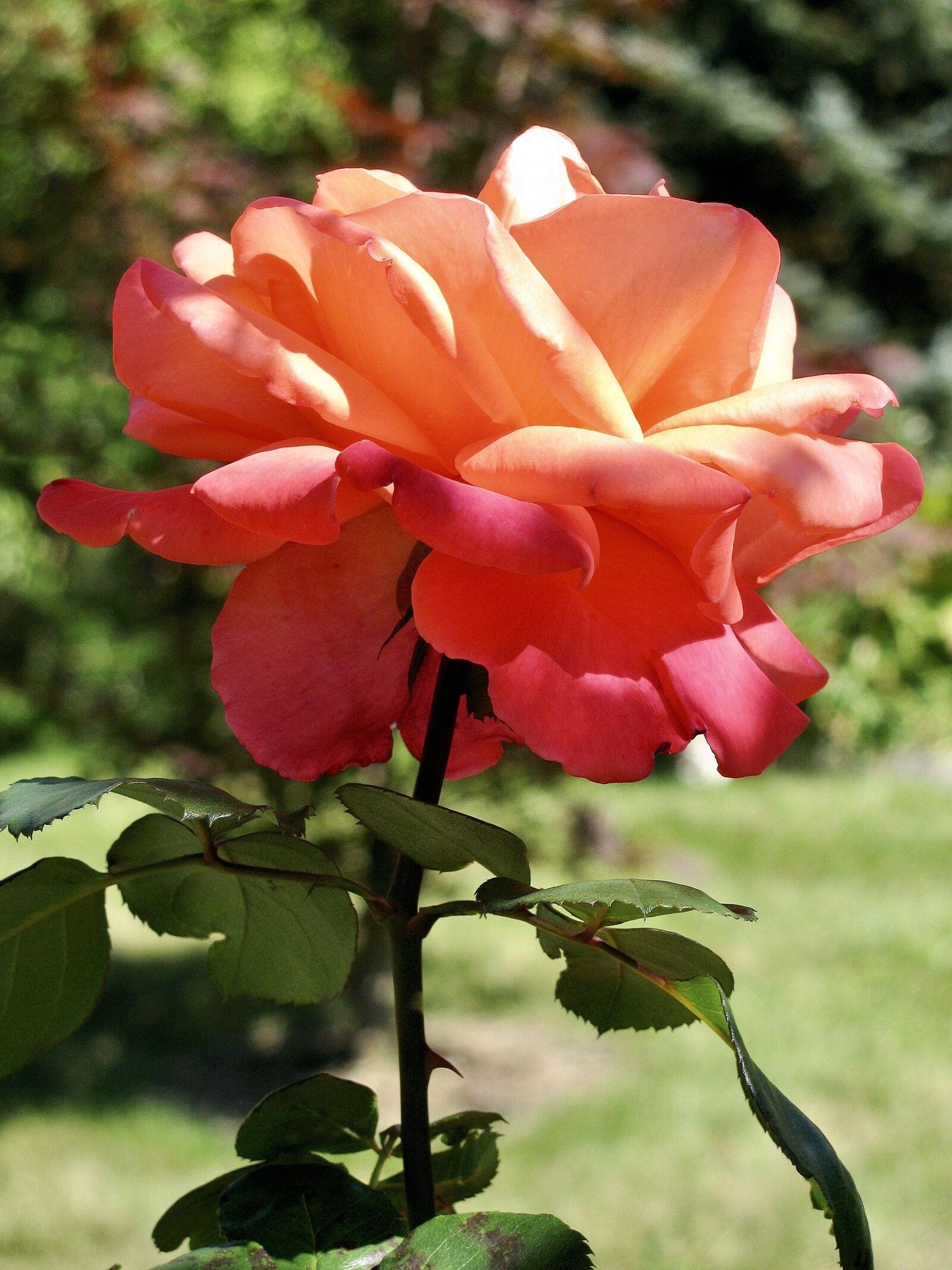 "Canon PowerShot SX110 IS sample photo. ""Rose, flora, flower"" photography"