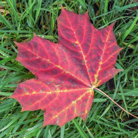 leaf, nature, autumn, Panasonic DMC-FZ5