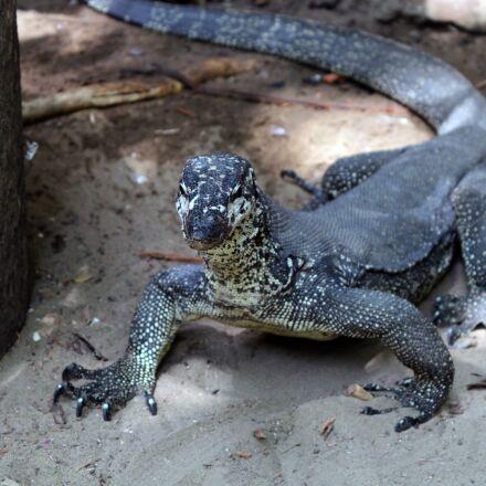 lizard, monitor, animal, Canon EOS 600D