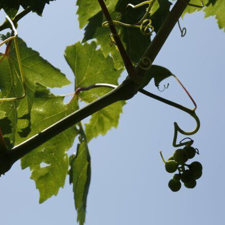 grapes, vine, vineyard, Canon EOS 5D MARK III