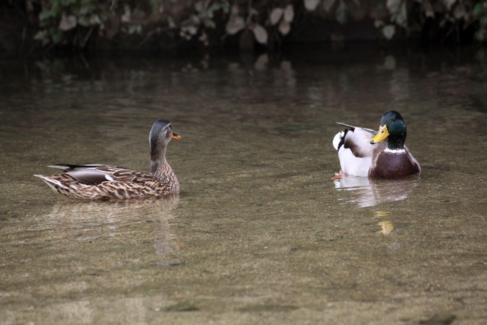 "Canon EOS 50D sample photo. ""Mallard duck, pair, duck"" photography"