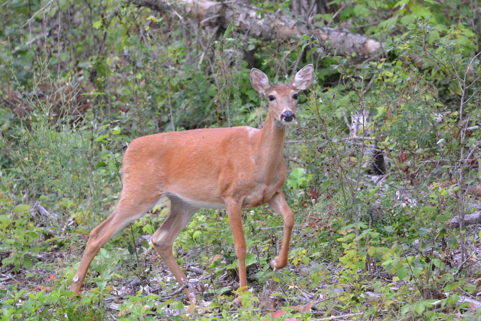 "Nikon D3100 sample photo. ""Whitetail, deer, doe"" photography"