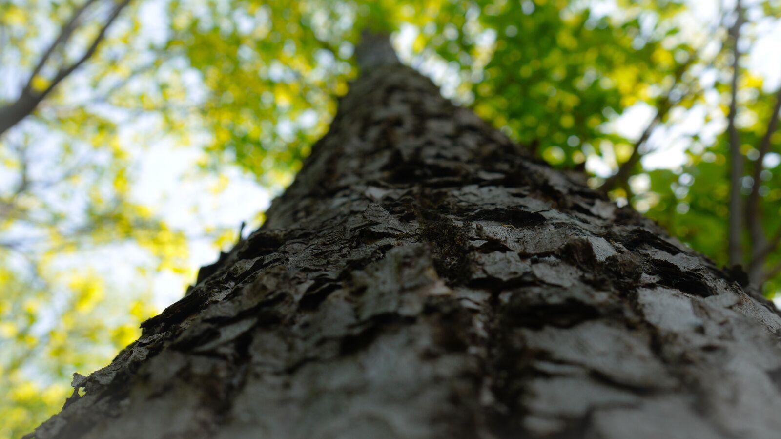 big trees, bark, sunshine