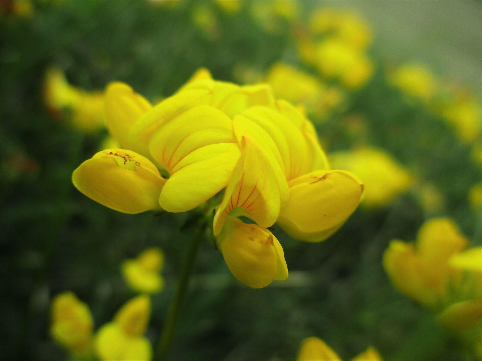 "Canon PowerShot ELPH 180 (IXUS 175 / IXY 180) sample photo. ""Clover, yellow, bloom"" photography"