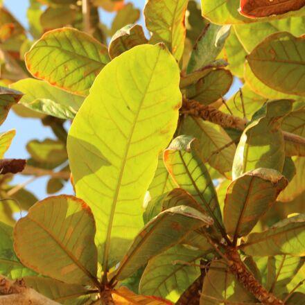 leaves, tree, foliage, Canon EOS 1200D
