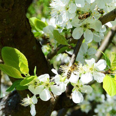 apple tree, flowers, apple, Nikon 1 S1