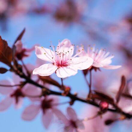 cherry blossom, cherry flower, Sony ILCE-6000