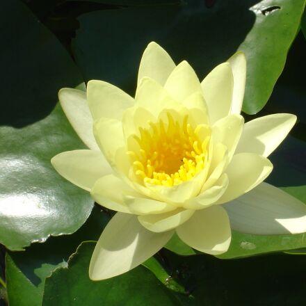 water lily, pond, aquatic, Sony DSC-P10