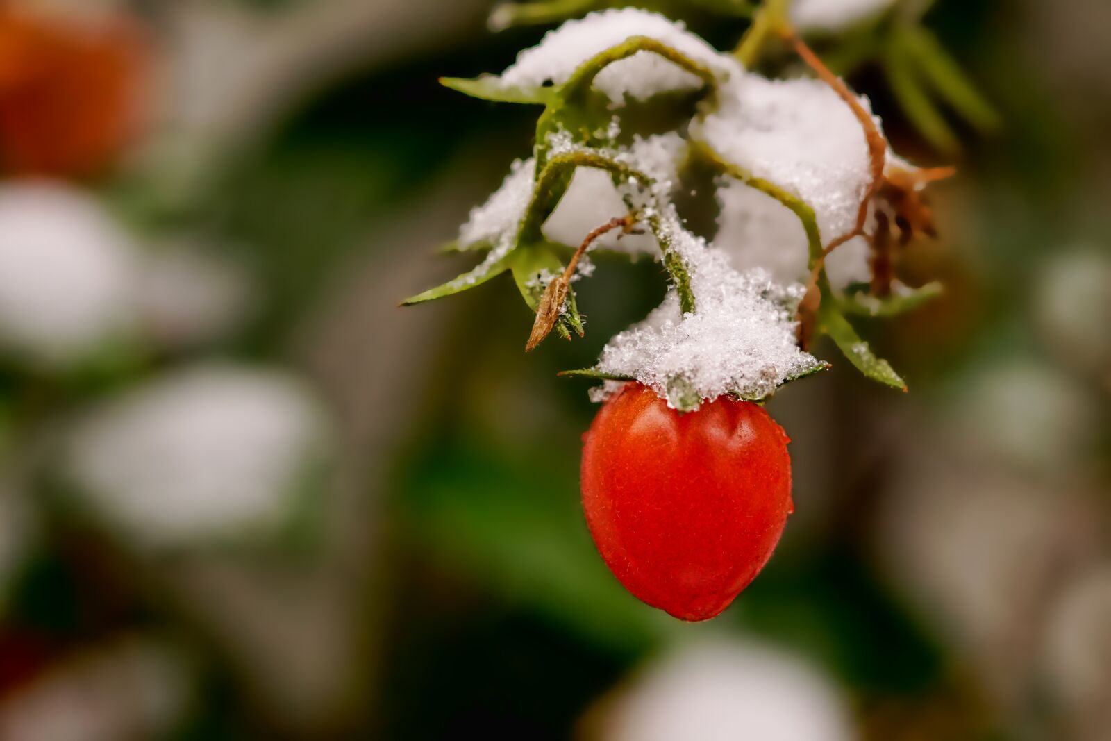 """Sony a6000 sample photo. """"Nature, vegetables, tomatoes"""" photography"""