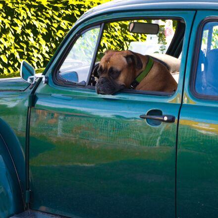 dog, auto, vw, Pentax K-X