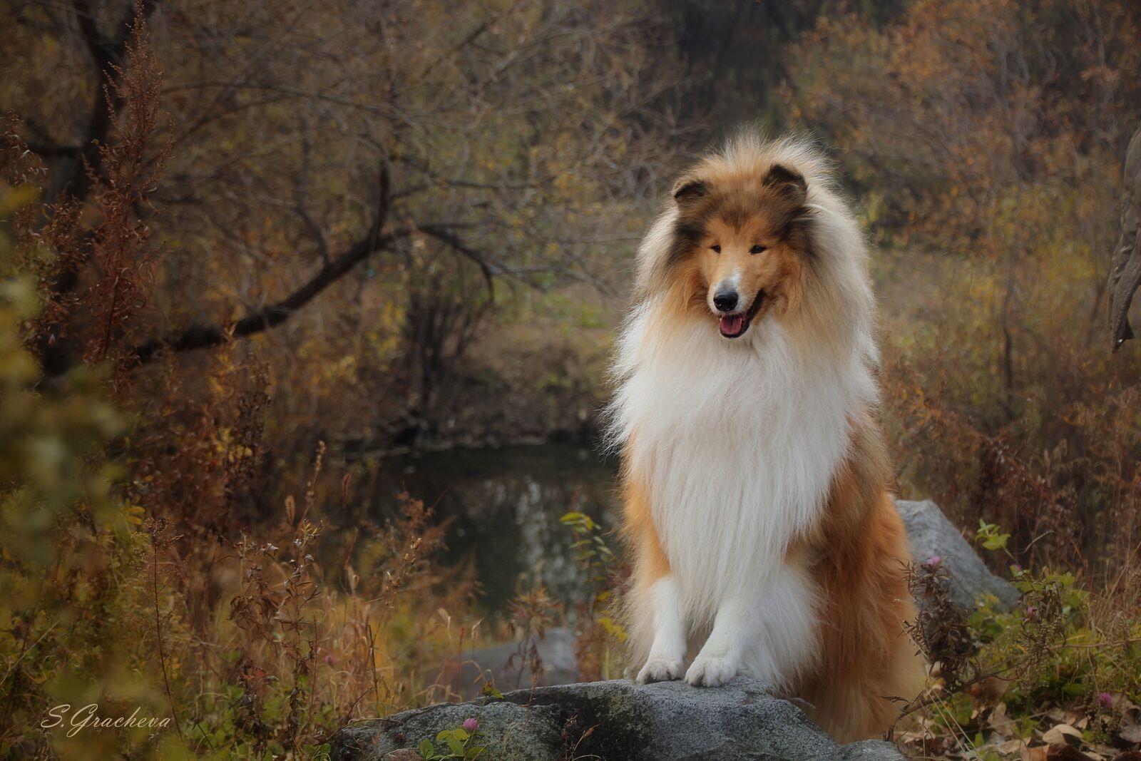 "Canon EOS 600D (Rebel EOS T3i / EOS Kiss X5) sample photo. ""Collie, autumn, dogs"" photography"
