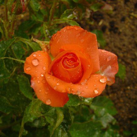 flowers, roses, orange roses, Sony DSC-P10