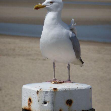 seagull, beach, sea, Panasonic DMC-TZ18