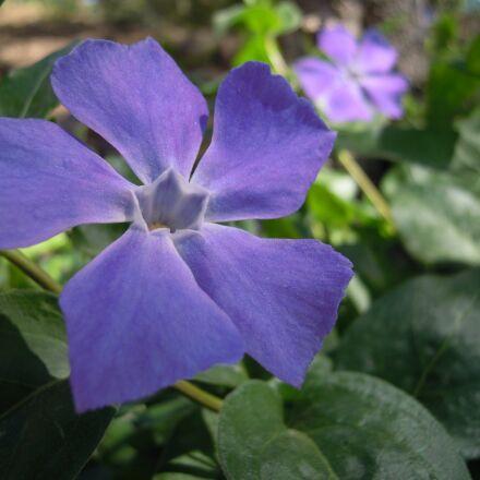 vinca minor, flower, garden, Nikon COOLPIX S5100