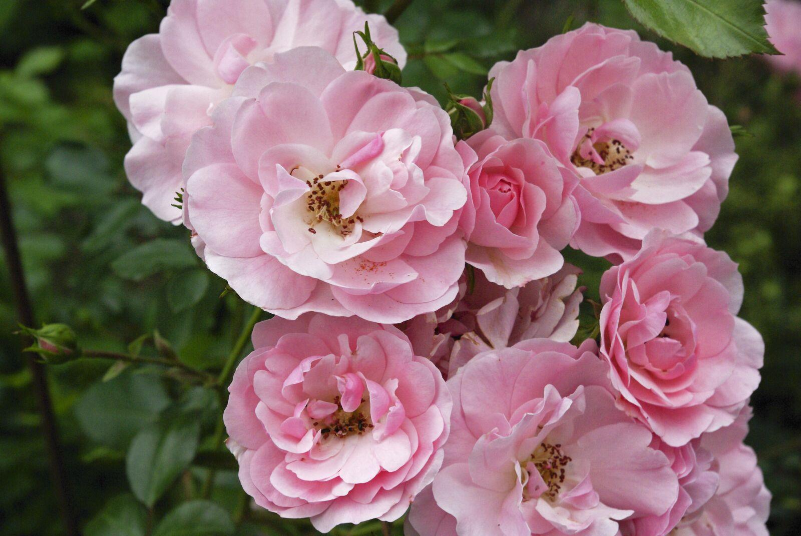 "Pentax K10D sample photo. ""Flowers, roses, garden"" photography"