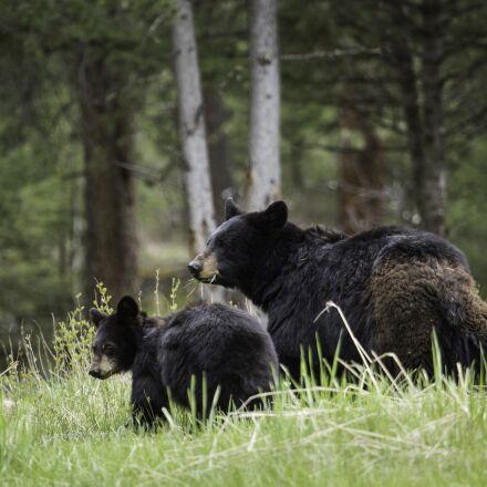 black bears, walking, wildlife, Canon EOS 5D MARK III
