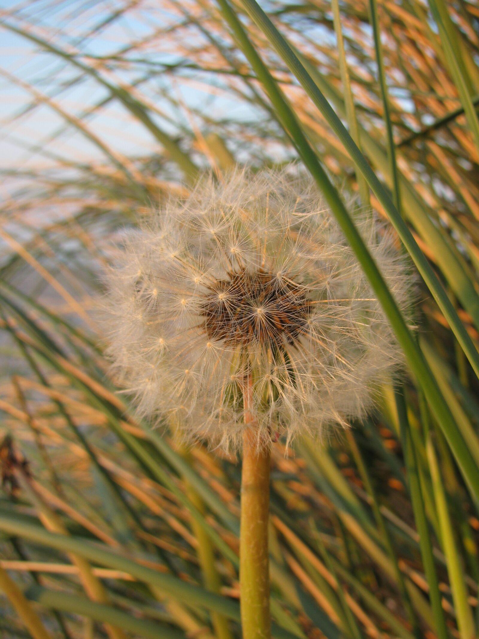 "Canon PowerShot SX110 IS sample photo. ""Dandelion, grass, nature"" photography"