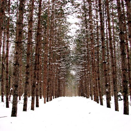 winter, forest, snow, Sony DSC-H5
