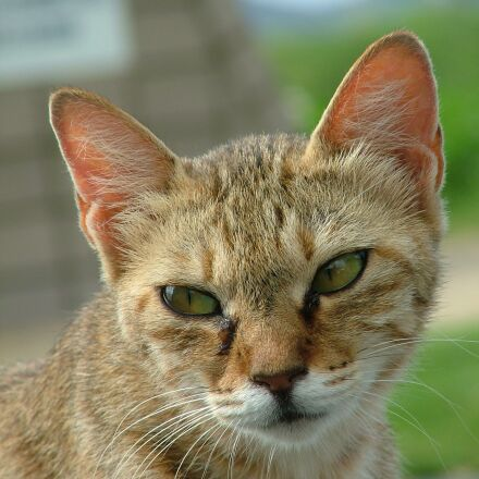 cat, japan, animal, Fujifilm FinePix S5000