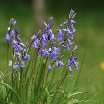 bells, nature, flower, Canon EOS 70D