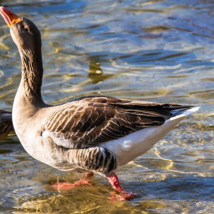 animal, goose, water bird, Panasonic DMC-G70