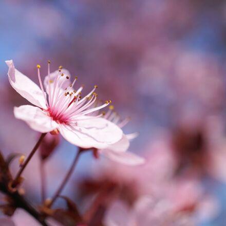 spring, cherry blossom, cherry, Sony ILCE-6000