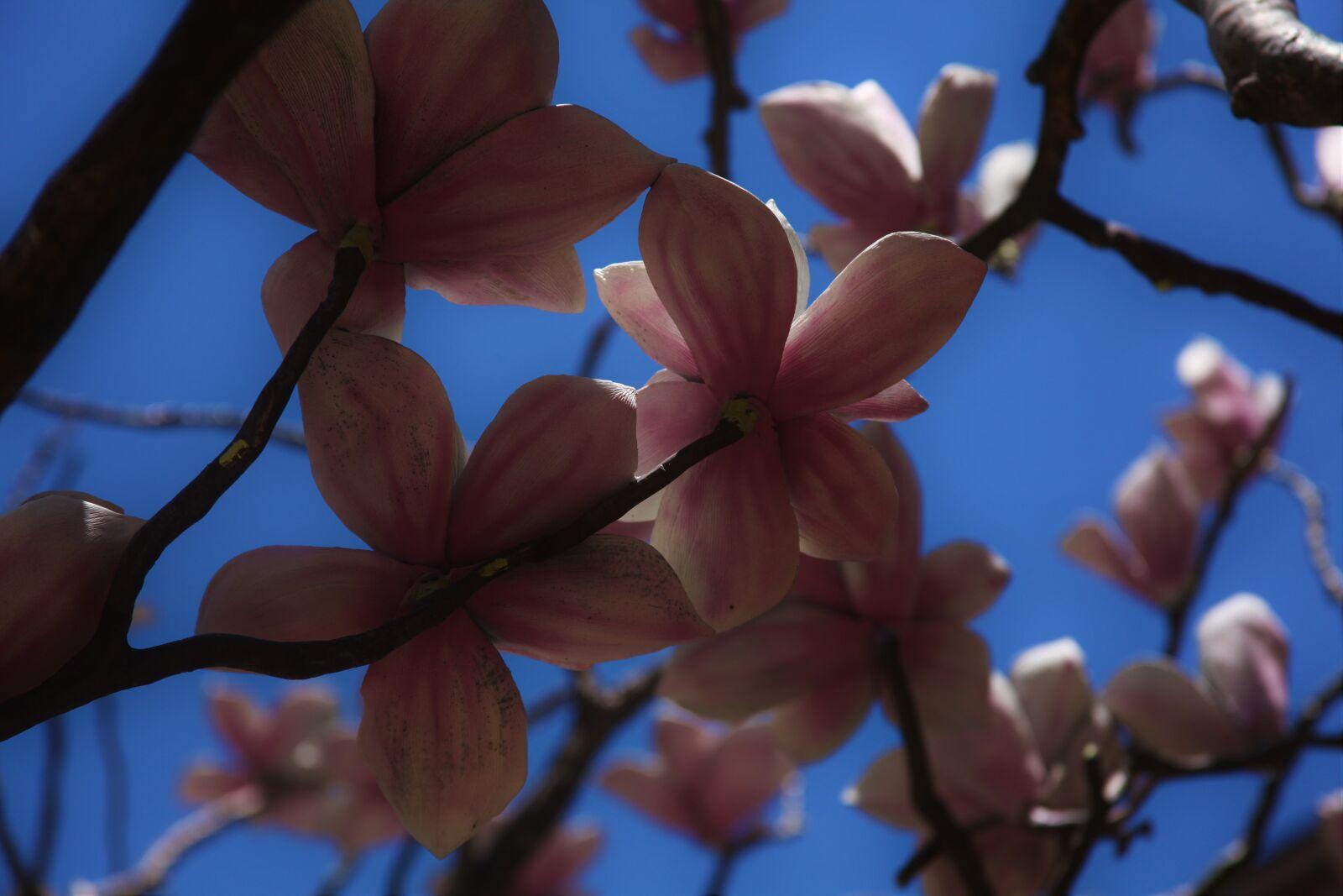 flowers, pink, sky, sunlight, Canon EOS 5D MARK II, Canon EF 28-135mm f/3.5-5.6 IS