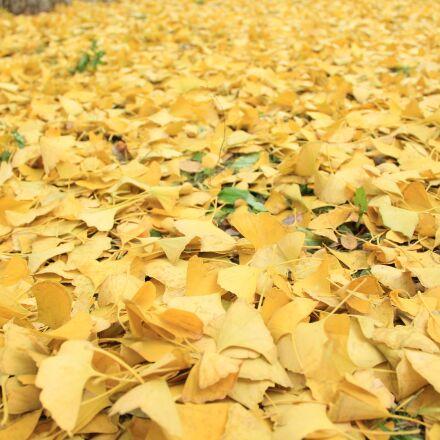 golden yellow, defoliation, autumn, Canon EOS 60D