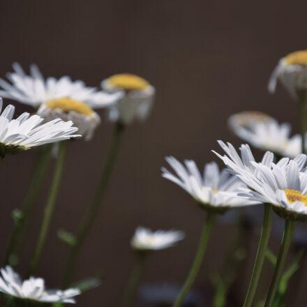 daisies, daisy, flowers, macro, Nikon D3300