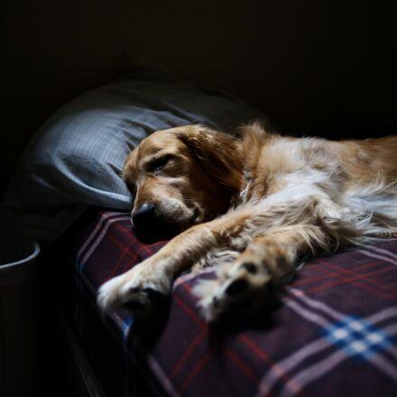 adorable, animal, bed, Canon EOS 6D