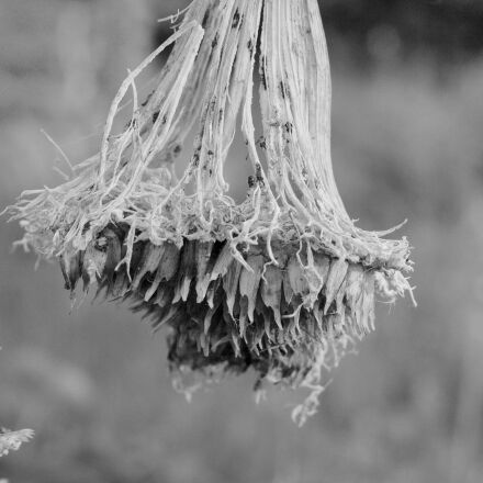 sunflower, decay, black and, Canon EOS 1100D
