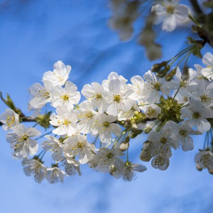 cherry tree, cherry blossom, Sony ILCE-6300