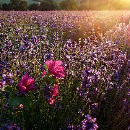 lavender, sunbeam, lavender field, Nikon COOLPIX L29