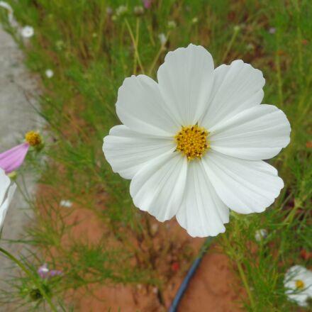white, flower, vietnam, Sony DSC-W690