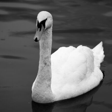 swan, black and white, Sony ILCE-7RM2
