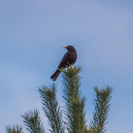 bird, black, nature, sky, Sony ILCA-77M2