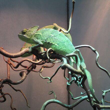 chameleon, terrarium, lizard, Canon IXUS 155