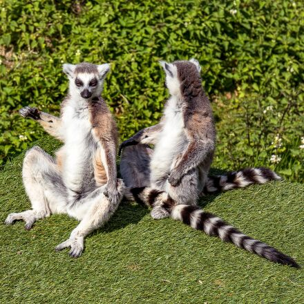 animals, lemur, wild park, Canon EOS 7D MARK II