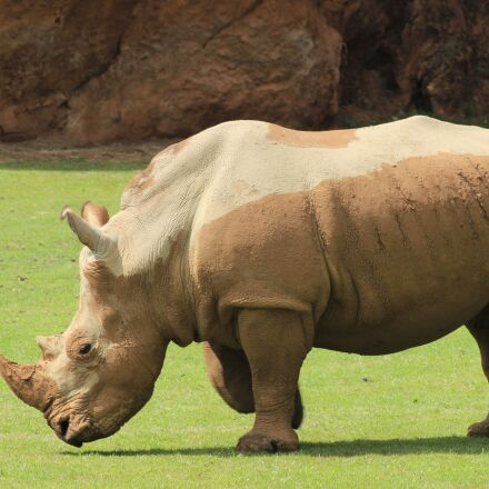 animals, rhino, zoo, Canon EOS 600D