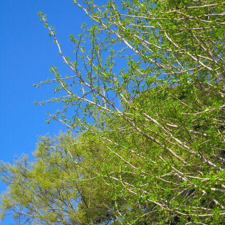 gingko tree, maidenhair tree, Canon IXY DIGITAL 910 IS